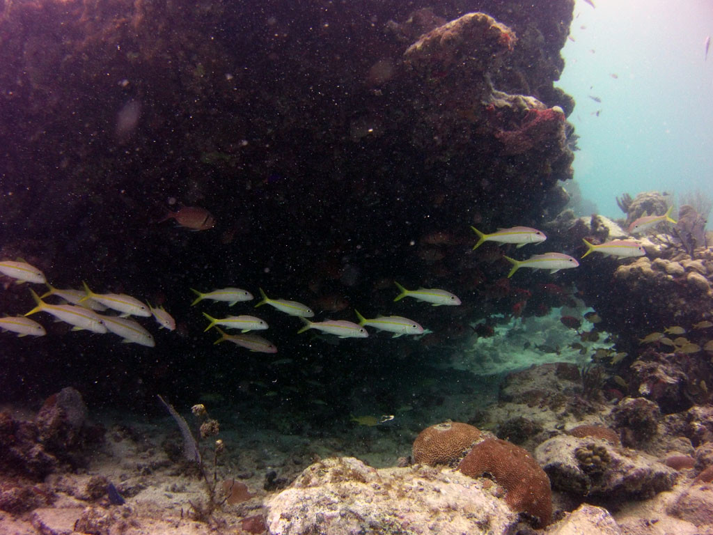 School of Yellowtail snappers Gallows Point