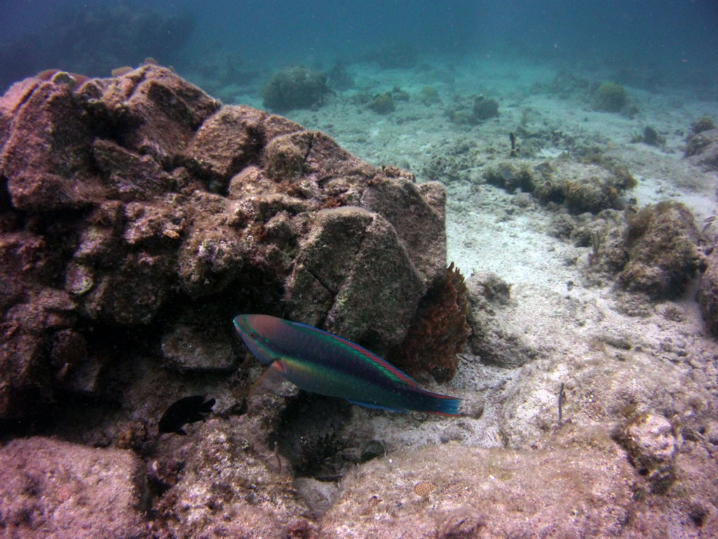 male Princess parrotfish, Gallows Point